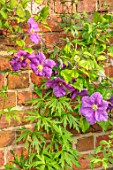 COTTAGE ROW, DORSET: CLOSE UP PLANT PORTRAIT OF THE PURPLE FLOWER OF CLEMATIS VICTORIA. DECIDUOUS, CLIMBER, CLIMBING, SHRUBS, WALL, PINK
