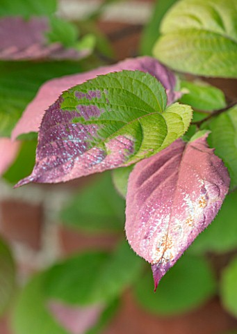 COTTAGE_ROW_DORSET_CLOSE_UP_PLANT_PORTRAIT_OF_ACTINIDIA_KOLOMIKTA_CLIMBERS_CLIMBING_PINK_WHITE_TIPS_