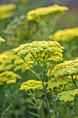 THE OLD RECTORY, QUINTON, NORTHAMPTONSHIRE: DESIGNER ANOUSHKA FEILER: CLOSE UP PLANT PORTRAIT OF YELLOW FLOWERS OF ACHILLEA CREDO. PERENNIALS, SUMMER