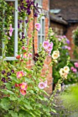 WOLLERTON OLD HALL, SHROPSHIRE: HOLLYHOCKS GROWING BESIDE THE HALL WALL. BRICK, PERENNIALS, PINK, APRICOT, WINDOW