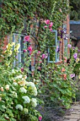 WOLLERTON OLD HALL, SHROPSHIRE: HOLLYHOCKS, HYDRANGEA GROWING BESIDE THE HALL WALL. BRICK, PERENNIALS, PINK, APRICOT, WINDOW