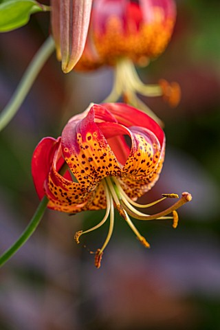 MORTON_HALL_WORCESTERSHIRE_CLOSE_UP_PLANT_PORTRAIT_OF_RED_ORANGE_YELLOW_FLOWERS_OF_LILIUM_PARDALINUM