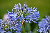 MORTON HALL, WORCESTERSHIRE: CLOSE UP PLANT PORTRAIT OF THE BLUE FLOWER OF AGAPANTHUS BLUE TRIUMPHATOR. PURPLE, SUMMER, PERENNIAL, BLOOMS, BLOOMING, FLOWERS
