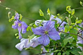 MORTON HALL, WORCESTERSHIRE: CLOSE UP PLANT PORTRAIT OF THE BLUE, PURPLE FLOWERS OF CLEMATIS VITICELLA EMILIA PLATER. BLOOMS, BLOOMING, FLOWERS, CLIMBERS, SHRUB, CLIMBING