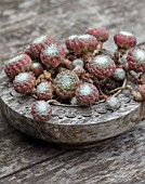 22A THE AVENUE, HITCHIN, HERTFORDSHIRE. DESIGNER MARTIN WOODS: SMALL WOODEN CONTAINER ON TABLE PLANTED WITH SEMPERVIVUM ARACHNOIDEUM, SUCCULENTS, ROSETTES