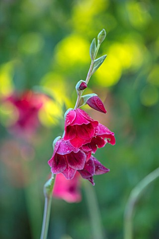 22A_THE_AVENUE_HITCHIN_HERTFORDSHIRE_DESIGNER_MARTIN_WOODS_CLOSE_UP_PLANT_PORTRAIT_OF_THE_PINK_RED_F