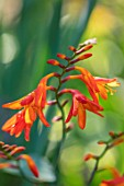 22A THE AVENUE, HITCHIN, HERTFORDSHIRE. DESIGNER MARTIN WOODS: CLOSE UP PLANT PORTRAIT OF THE ORANGE FLOWERS OF CROCOSMIA X CROCOSMIIFLORA. MONBRETIAS, PERENNIALS