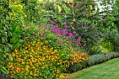 THE SALUTATION GARDEN, KENT: LAWN, EXOTIC, TROPICAL BORDER - COSMOS SULPHUREUS BRIGHT EYES, SALVIA BETHELLII. TAGETES KEYS ORANGE, HEBE RED EDGE, ALANTHUS ALTISSIMA PURPLE DRAGON