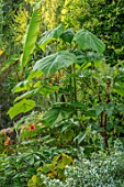 THE SALUTATION GARDEN, KENT: EXOTIC, TROPICAL BORDER - EUONYMUS EMERALD GAIETY, RICINUS GIBSONII, PAWLONIA TOMENTOSA, MUSA BASJOO. GREEN, FOLIAGE, LEAVES, LATE, SUMMER