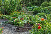 THE SALUTATION GARDEN, KENT: ZINNIAS GROWING IN THE POTAGER. VEGETABLE, GARDEN, LATE, SUMMER, CUTTING, RAISED BEDS, BENCH, SEAT, WOODEN, GRAVEL, PATHS