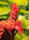 THE SALUTATION GARDEN, KENT: CLOSE UP PLANT PORTRAIT OF THE ORANGE FLOWERS OF CANNA RED VELVET. BLOOMS, SUMMER, CANNA, BRIGHT, ORANGE, BRIGHT