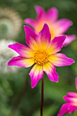 THE SALUTATION GARDEN, KENT: CLOSE UP PLANT PORTRAIT OF THE PINK, YELLOW FLOWERS OF DAHLIA BRIGHT EYES. BLOOMS, SUMMER