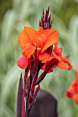 THE SALUTATION GARDEN, KENT: CLOSE UP PLANT PORTRAIT OF THE ORANGE FLOWERS OF CANNA WYOMING. BLOOMS, SUMMER, CANNA, BRIGHT, ORANGE, BRIGHT