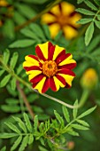 THE SALUTATION GARDEN, KENT: CLOSE UP PLANT PORTRAIT OF THE RED, YELLOW FLOWERS OF TAGETES STRIPED MARVEL. BLOOMS, SUMMER, LATE, MARIGOLDS, ANNUALS, STRIPEY, STRIPES