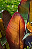 THE SALUTATION GARDEN, KENT: CLOSE UP PLANT PORTRAIT OF THE PRANGE, RED FOLIAGE, LEAF, LEAVES OF ENSETE VENTRICOSUM MAURELII. BANANA, TENDER, PATTERN, ARCHITECTURAL