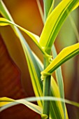 THE SALUTATION GARDEN, KENT: CLOSE UP PLANT PORTRAIT OF VARIEGATED GREEN, YELLOW LEAVES OF ARUNDO DONAX GOLDEN CHAIN. FOLIAGE, GRASSES, LATE, SUMMER