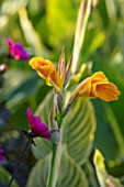 THE SALUTATION GARDEN, KENT: CLOSE UP PLANT PORTRAIT OF THE ORANGE FLOWERS OF CANNA BETHANY. BLOOMS, SUMMER, CANNA, BRIGHT, YELLOW, BRIGHT