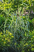 THE SALUTATION GARDEN, KENT: THE VARIEGATED GREEN, CREAM, WHITE LEAVES OF ARUNDO PEPPERMINT STICK. FOLIAGE, GRASSES, LATE, SUMMER