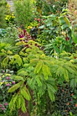 SWEETBRIAR, KENT: VIEW DOWN ONTO FOLIAGE, TROPICAL, GARDEN, GREEN, ALBIZIA JULIBRISSIN ROSEA. AMARANTHUS VELVET CURTAINS. CLERODENDRUM BUNGEI PINK DIAMOND. MUSA SIKKIMENSIS