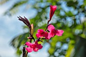 SWEETBRIAR, KENT: CLOSE UP PLANT POIRTRAIT OF THE PINK FLOWERS OF CANNA X EHEMANNII. FLOWERING, BRIGHT, PINK, BLOOMING, SUMMER, EXOTIC, TROPICAL