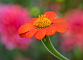 SWEETBRIAR, KENT: CLOSE UP PLANT PORTRAIT OF THE RED, ORANGE, YELLOW  FLOWER OF TITHONIA ROTUNDIFOLIA TORCH. TROPICAL, EXOTIC, SUMMER, ANNUALS, VIVID, HOT
