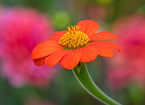 SWEETBRIAR_KENT_CLOSE_UP_PLANT_PORTRAIT_OF_THE_RED_ORANGE_YELLOW__FLOWER_OF_TITHONIA_ROTUNDIFOLIA_TO
