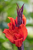 SWEETBRIAR, KENT: CLOSE UP PLANT PORTRAIT OF THE RED, ORANGE FLOWER OF CANNA RED VELVET. TROPICAL, EXOTIC, SUMMER, RHIZOMES, BULBS