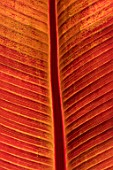 SWEETBRIAR, KENT: CLOSE UP PLANT PORTRAIT OF THE RED LEAF OF ENSETE VENTRICOSUM MAURELII. LEAVES, FOLIAGE, TROPICAL, EXOTIC, SUMMER. PATTERNS, TEXTURES, ABSTRACT