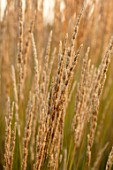 PRIVATE GARDEN, SURREY: DESIGNER ANTHONY PAUL: CLOSE UP PLANT PORTRAIT OF CALAMAGROSTIS X ACUTIFLORA KARL FOERSTER. GRASSES, BROWN, BRONZE, GOLDEN, FEATHER, REED, ORNAMENTAL