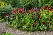 MORTON HALL GARDENS, WORCESTERSHIRE: KITCHEN GARDEN IN LATE SUMMER. DARK RED DAHLIAS  CHAT NOIR  AND KARMA CHOC. TUBER, TUBEROUS, PLANT PORTRAIT, FLOWER, FLOWERS, BEDS