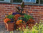 MORTON HALL, WORCESTERSHIRE: TERRACOTTA CONTAINERS BY GREENHOUSE - SALVIA EMBERS WISH, NEMESIA LYRIC ORNAGE, ARCTOTIS FLAME, HELITROPE, CANNA. POTS, FLOWERING, LATE, SUMMER