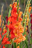 PARHAM, SUSSEX: CLOSE UP PLANT PORTRAIT OF THE PEACH AND ORANGE FLOWERS OF GLADIOLUS PECHE MELBA AND TRADERHORN. BULBS, BULBOUS, SUMMER. LATE, SEPTEMBER, GLADIOLI