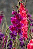 PARHAM, SUSSEX: CLOSE UP PLANT PORTRAIT OF THE PURPLE AND RED FLOWERS OF GLADIOLUS VELVET EYES AND AFTERSHOCK. BULBS, BULBOUS, SUMMER. LATE, SEPTEMBER, GLADIOLI
