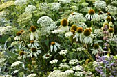 PARHAM, SUSSEX: PLANT ASSOCIATION, COMBINATION OF AMMI MAJUS AND ECHINACEA PURPUREA WHITE SWAN. HERBACEOUS, PERENNIALS, BLOOMING, WHITE, CREAM, FLOWERS