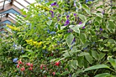 PARHAM, SUSSEX: THE GREENHOUSE, GLASSHOUSE, WITH FUCHSIAS, CROTALARIA LABURNIFOLIA, SOLANUM JASMINOIDES VARIEGATA. LATE, SUMMER, GLASS, HOUSE, CONSERVATORY