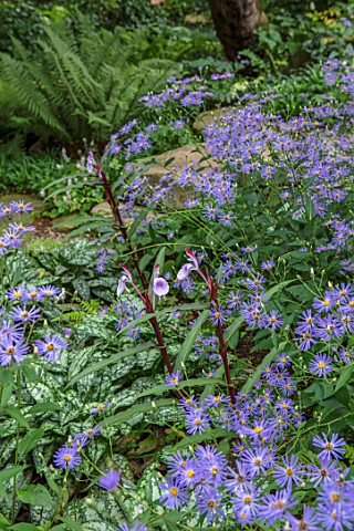 MORTON_HALL_WORCESTERSHIRE_ROCKERY_LATE_SUMMER_EURYBIA_X_HERVEYI_SYN_ASTER_MACROPHYLLUS_TWILIGHT_ROS