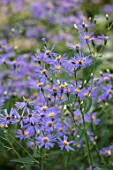 MORTON HALL, WORCESTERSHIRE: ROCKERY, LATE, SUMMER. CLOSE UP PLANT PORTRAIT OF BLUE, YELLOW FLOWERS OF EURYBIA X HERVEYI SYN ASTER MACROPHYLLUS TWILIGHT, SHADE, SHADY