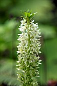 MORTON HALL, WORCESTERSHIRE: CLOSE UP PLANT PORTRAIT OF THE CREAM, WHITE, FLOWERS OF EUCOMIS AUTUMNALIS, EXOTIC, TROPICAL, PINEAPPLE, FLOWERING, GREEN