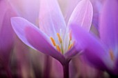 CLOSE UP PLANT PORTRAIT OF THE PURPLE, PINK FLOWERS OF AUTUMN COLCHICUM AUTUMNALE. BULBS, FLOWERING, PERENNIALS, CROCUS