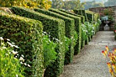 BOURTON HOUSE GARDEN, GLOUCESTERSHIRE: GRAVEL PATH, CLIPPED PRIVET TOPIARY AGINST WALL, CONTAINERS WITH WHITE ARGYRANTHEMUMS. EVERGREEN, FORMAL, ENGLISH, COUNTRY, GARDEN