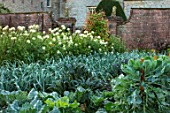 FORDE ABBEY, SOMERSET: THE VEGETABLE GARDEN, POTAGER. WHITE CLEOMES, SPIDER PLANT, CABBAGES, LEEKS, ROWS, OCTOBER, AUTUMN, VEGETABLES