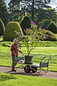 FORDE ABBEY, SOMERSET: CHARLOTTE ROPER PUSHING A TROLLEY WITH TIBOUCHINA URVILLEANA ALONG GRAVEL PATH. FLOWERS, FLOWERING, OCTOBER, AUTUMN