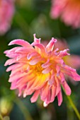 FORDE ABBEY, SOMERSET: CLOSE UP PLANT PORTRAIT OF THE PINK, YELLOW FLOWERS OF DAHLIA BABY ROYAL. FLOWERING, OCTOBER, AUTUMN, ANNUALS, FALL, PERENNIALS, CACTUS