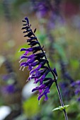 FORDE ABBEY, SOMERSET: CLOSE UP PLANT PORTRAIT OF THE DARK, DEEP, PURPLE, FLOWERS OF SALVIA ARMISTAD. FLOWERING, OCTOBER, AUTUMN, ANNUALS, FALL, PERENNIALS, SALVIAS, SAGES, SCENTED