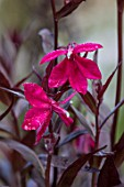 FORDE ABBEY, SOMERSET: CLOSE UP PLANT PORTRAIT OF THE DARK, DEEP, PINK, FLOWERS OF LOBELIA RUSSIAN PRINCESS. FLOWERING, OCTOBER, AUTUMN, FALL, PERENNIALS