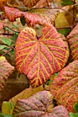 THE CONIFERS, OXFORDSHIRE: CLOSE UP PLANT PORTRAIT OF AUTUMN LEAF OF VITIS COIGNETIAE. COTSWOLDS, COTTAGE, FALL, OCTOBER, SHRUBS, FOLIAGE, JAPANESE, CRIMSON, GLORY, VINE