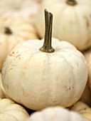 CLOSE UP PLANT PORTRAIT OF WHITE, CREAM ORGANIC CASPERITA SQUASH. EDIBLE, HARVEST, FOOD, CROP, HEALTHY, VEGETABLES, FALL, AUTUMNAL