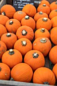 ORANGE ORGANIC WEE BE LITTLE SQUASH. EDIBLE, HARVEST, FOOD, CROP, HEALTHY, VEGETABLES, FALL, AUTUMNAL