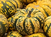CLOSE UP PLANT PORTRAIT OF YELLOW, GREEN HARLEQUIN SQUASH. EDIBLE, HARVEST, FOOD, CROP, HEALTHY, VEGETABLES, FALL, AUTUMNAL, AUTUMN