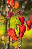 BLUEBELL ARBORETUM AND NURSERY, DERBYSHIRE: CLOSE UP PLANT PORTRAIT OF THE RED LEAVES OF CERCIS CANADENSIS MERLOT. FALL, AUTUMN, AUTUMNAL, TREES, SHRUBS